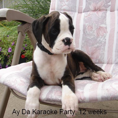 kennel ay da boxer litter d ay da derjava boxers and only boxers our dogs puppies 1 612. Black Bedroom Furniture Sets. Home Design Ideas